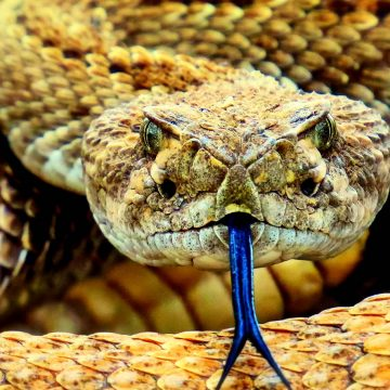 The cure for corona from snake venom?
